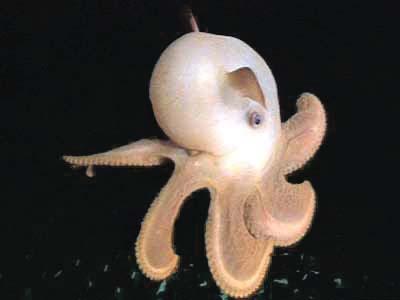 [Image: dumbo_octopus-3.jpg]